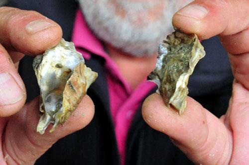 La profession ostréicole au secours des huîtres nippones